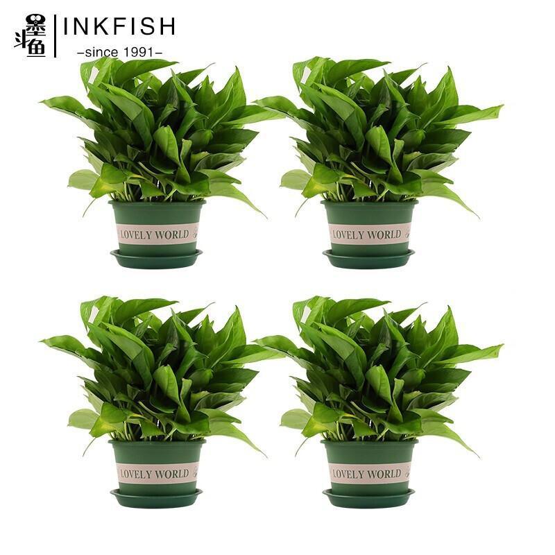 墨斗鱼绿萝4盆装(带加仑盆) 绿萝绿植绿色植物种植0333(单位:组)